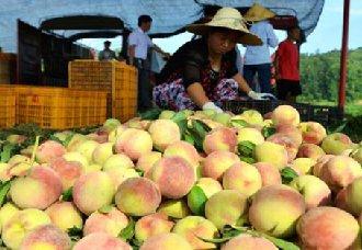 <b>四川省泸州市:300余亩苹果桃搬上电商平台 不仅有好价钱还提高知名度</b>