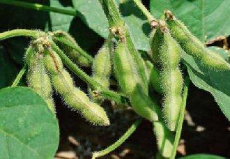 夏大豆的生长后期要怎么管理?夏大豆生长后期的管理技术
