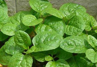 木耳菜种植后要怎么进行管理?木耳菜的田间管理技术