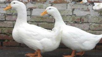 肉鸭饲养要怎么节省饲料?饲养肉鸭节省饲料的方法