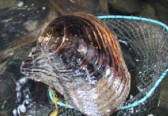 河蚌有哪些种类?河蚌的种类介绍