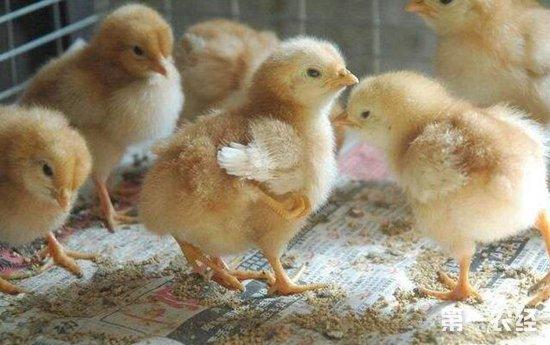 促进发育提高抵抗力,给鸡喂食鱼肝油的好处