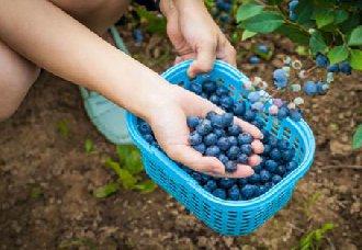 <b>贵州独山县上司镇:莫廷帮立志脱下贫困的帽子 靠蓝莓发家致富</b>