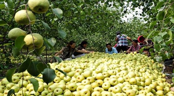 安徽省砀山县:全国网上农产品销售第一大县