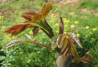 香椿树病虫害有哪些?香椿树的病虫害与防治措施