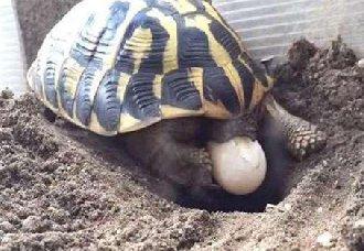 乌龟什么时候下蛋?乌龟蛋可不可以吃呢?