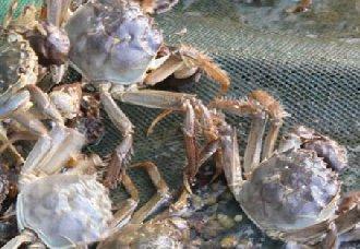 <b>大闸蟹要怎么养?大闸蟹的养殖技术</b>
