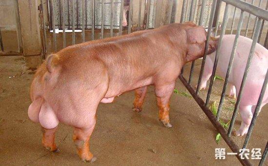 给猪输精的几种特殊情况处理方法!
