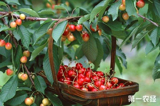摩尔多瓦樱桃仍达不到欧洲要求的水果质量