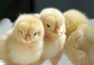 鸡苗入舍之前鸡舍的准备工作