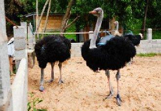 鸵鸟常见的疾病有哪些?鸵鸟常见的疾病防治方法