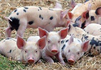 猪缺锌要怎么办?猪缺锌的症状与防治方法