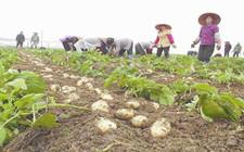 马铃薯种植如何才能增产?