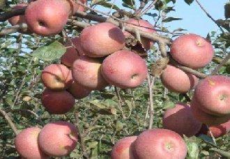 苹果得了疫腐病怎么办?苹果疫腐病的防治方法