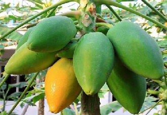 木瓜要怎么栽培?木瓜的栽培金巴黎彩票下載