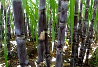 甘蔗种植要怎么提高甘蔗糖分?提高甘蔗糖分的方法