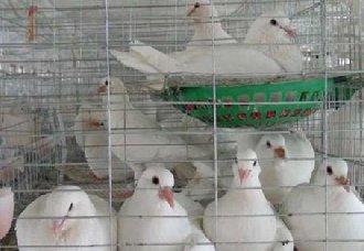 肉鸽常见的疾病有哪些?肉鸽常见的疾病与防治金巴黎彩票下載