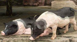 <b>香猪在饲养中要注意什么?香猪饲养的注意事项</b>