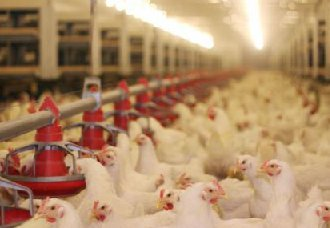 别再用生石灰给鸡舍消毒了,生石灰消毒的危害