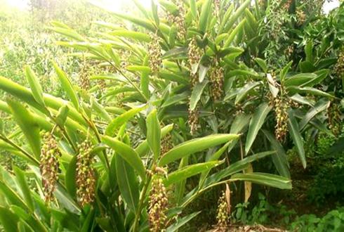 四川泸州:多个村庄集体发展砂仁产业 种植面积已超一千亩