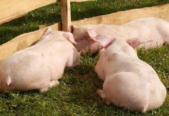 猪要怎么养?如何科学养猪?