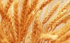 乌克兰小麦产量下降 越南糯米出口受阻