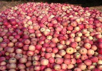 <b>山西省吉县:村民发展苹果产业年年增收 实现发家致富</b>