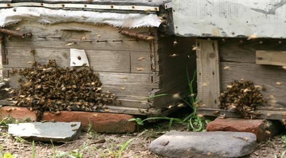 夏季养殖蜜蜂要注意什么?夏季养殖蜜蜂的注意事项