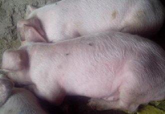 <b>怎么辨别仔猪是否健康?辨别仔猪健康的方法</b>