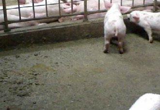 <b>猪舍潮湿有什么危害?养殖户需要了解的知识</b>