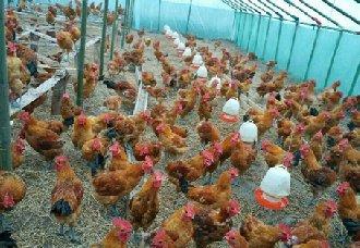 鸡舍如何进行熏蒸消毒?熏蒸消毒的操作方式