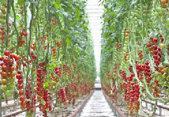 <b>山东平度巡栈村:村民依靠小樱桃西红柿种植产业致了富</b>