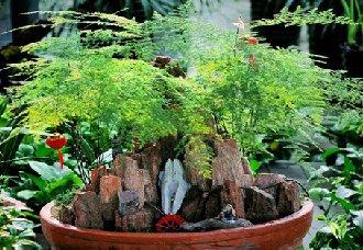 文竹要怎么盆栽?文竹盆栽的养殖方法