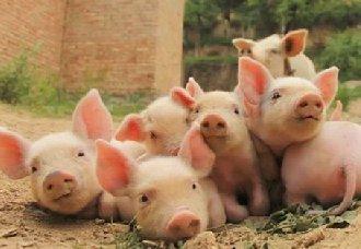 如何巧妙让育肥猪早出栏?育肥猪的喂养方法