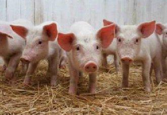 如何节省粮食养猪达到相同的成长?节省粮食养猪的方法