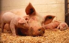 <b>母猪产后如何护理?产后护理方法介绍</b>