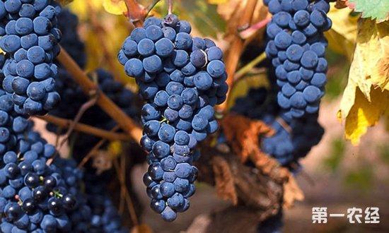 关于葡萄的品种你了解多少?七种具有地域特色葡萄品种