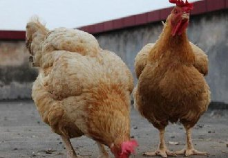 鸡舍内需要有哪些设备?常见的养鸡设备的选择