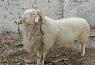 <b>小尾寒羊常见的疾病有哪些?小尾寒羊常见的疾病与治疗方法</b>