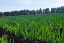 <b>新疆乌苏市:1600亩大葱喜迎大丰收 八十四户乡农民乐开怀</b>