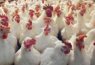 养殖肉鸡的设备要怎么选择?