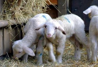<b>羔羊腹泻有哪些症状?羔羊腹泻的预防方法</b>