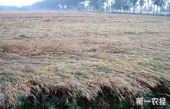西北甘肃一带遭受冰雹袭击 小麦成熟却未能正常收割