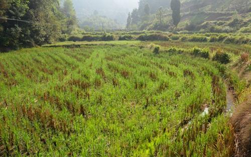 """再生稻""""焕新生"""":全国多省大面积种植再生稻"""