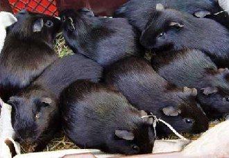 <b>黑豚得了疾病怎么办?黑豚常见疾病与治疗方法</b>