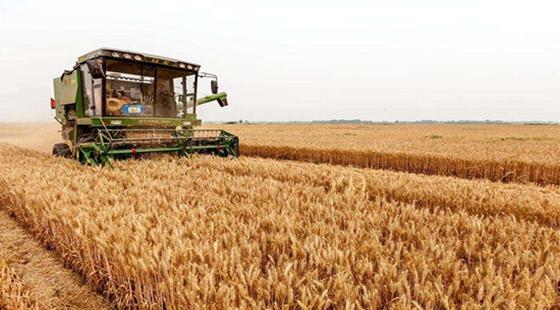 河南:小麦赤霉病严重发生 同比减产20.46亿斤
