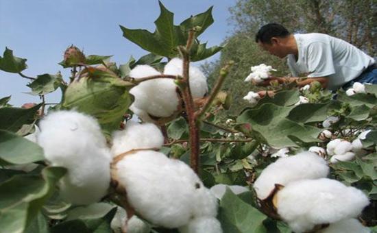 棉花出现枯萎病?几个要点看一下