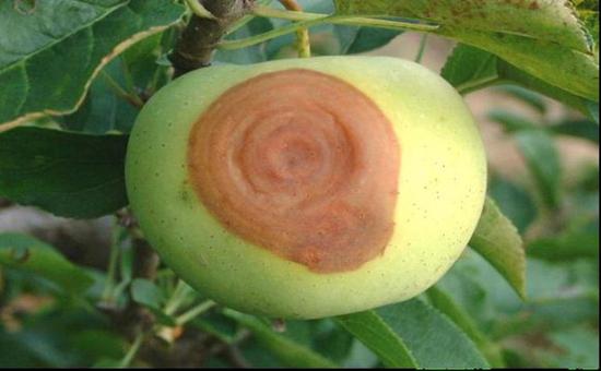 什么是苹果轮纹病?轮纹病的病症解读