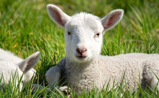 羊得了角膜炎怎么办?角膜炎的治疗方法