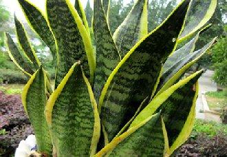 <b>虎皮兰常见的病虫害有哪些?虎皮兰常见的病虫害与防治方法</b>
